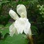 Roscoea cautleyoides 'Kew Beauty' - 2016 (Roscoea cautleyoides)