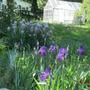 Iris Grape Koolade