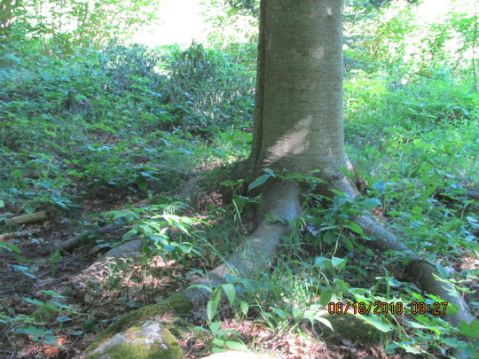 Large fir tree near the spring...