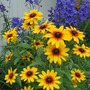 Blackeyed Susan and delphinium (Rudbeckia fulgida (Black-eyed Susan))