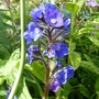 Anchusa azurea 'Lodden Royalist' for my records (Anchusa azurea 'Loddon Royalist')