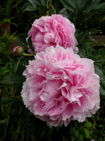 A couple of Peonies