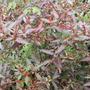 Haloragis erecta 'Wellington Bronze' (Haloragis erecta (Toatoa))