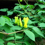 Bleeding heart vine  Dicentra Scandens  'Athens Yellow'