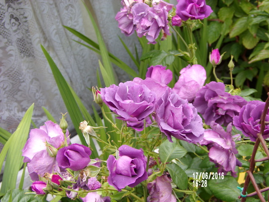 Rose Blue for you