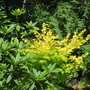 "Acer shirasawanum ""Jordan"" / Golden Full Moon"