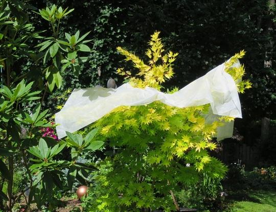 """Protecting my Acer shirasawanum """"Jordan""""  from sun"""