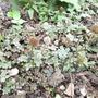 Acaena microphylla 'Blue Haze' (Acaena microphylla (New Zealand burr))