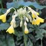 Giant Primula (Primula florindae (Giant Himalayan Cowslip))