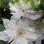 Clematis jackmanii alba (Clematis jackmanii alba)