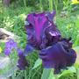 Iris Midnight Revelry...
