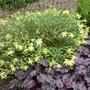 Hypericum olympicum 'Sulphureum' - 2016 (Hypericum olympicum)