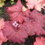 Heuchera 'Buttered Rum' new leaves and flower buds. (Heuchera cylindrica (Coral flower))