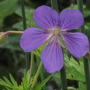 Geranium Wisley Blue (Geranium pratense (Meadow cranesbill))