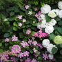 Mix of hydrangeas (mophead, lacecap, Anabelle)