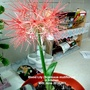 Blood_lily_scadoxus_mutiflorus_in_kitchen_25_06_2016_003