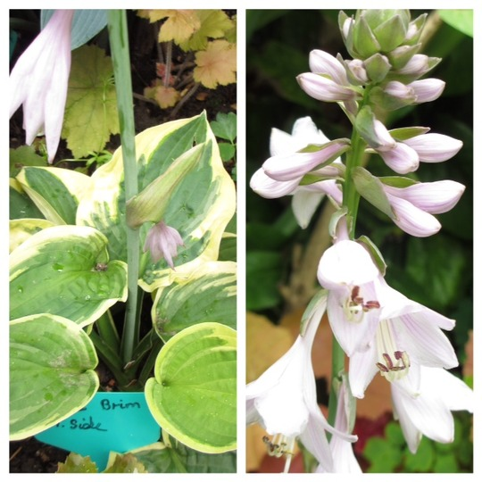 "Hosta ""Wide Brim"" for my file (Hosta)"