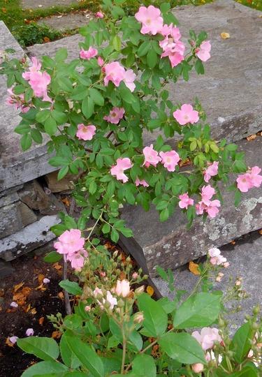 Shrub rose along my steps