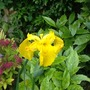 Yellow Iris. (Iris bucharica (Iris))