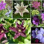 Some of The Clematis in Flower Late June