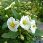 Solanum - a mini standard. (Solanum rantonnetii (Royal Robe))