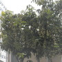 Mango Fruit (Mangifera indica) (Mango Fruit (Mangifera indica))
