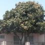 Mango  (Mangifera indica) (Mango Fruit (Mangifera indica))