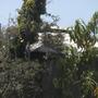 Mango Fruit (Mangifera indica) (Dypsis lutescens - Butterfly Palm)