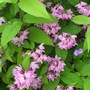 Deutzia 'Strawberry Fields' (deutzia)