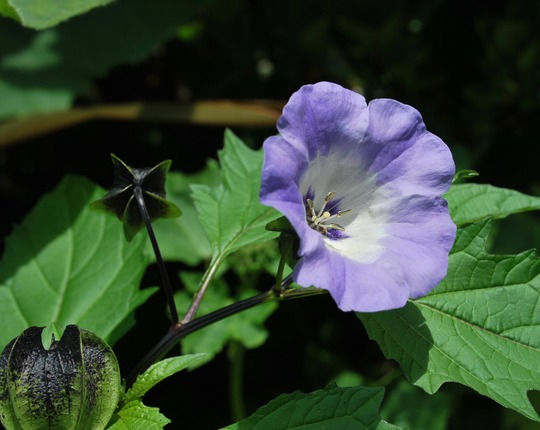 Shoo Fly plant.... (Nicandra physaloides (Apple of Peru))
