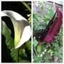 Beauty and the Beast (Dracunculus vulgaris (Dragon arum))