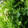 Cardiocrinum giganteum. dk why the photo has been laid on its side.  (Cardiocrinum giganteum)