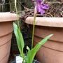 Roscoea cautleyoides purple