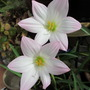 Habranthus robustus (Habranthus robustus)