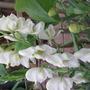 White Aconitum (Aconitum)