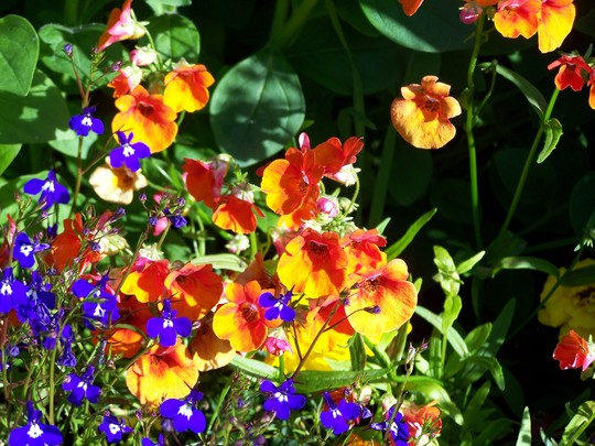mimulus fire