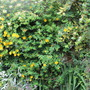 The Yellow Fence (Lonicera japonica (Japanese Honeysuckle))