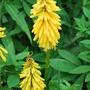 Kniphofia caulescens Lemon Popicle.