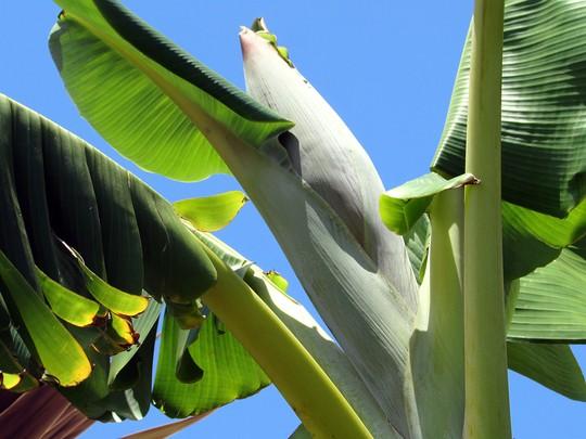 My first ever edible banana bloom. (Musa acuminata (Blood Banana)x balbisiana.)