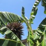 Ice Cream Banana.  (Musa acuminata (Blood Banana) x balbisiana)