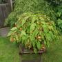 Begonia Sutherlandii for OBW