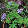 Tree Lupin.....love the perfume...... (Lupinus arboreus (Tree lupin))