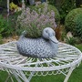 Duck and Thyme anyone? (Silver Posie) (Thymus vulgaris  Silver Posie...)