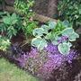 Campanula, hosta, and almost hidden hydrangea
