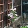 Comtesse de Bouchard, full of flower,