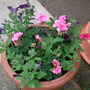 geraniums and petunia pot just coming out.
