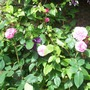 Gertrude Jekyll.  The Garden 4th July 2016 001