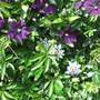 The back fence mix of Clematis and Passion Flowers.The Garden 4th July 2016 003