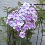 First phlox opened