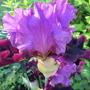 iris I'm Back (Iris germanica (Orris))